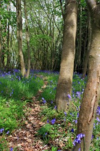 bluebellsinthewood