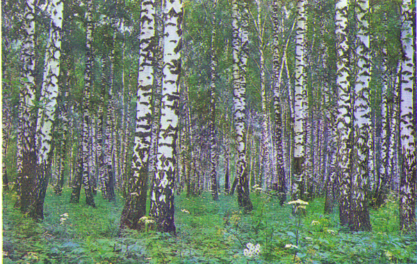 White Birches2