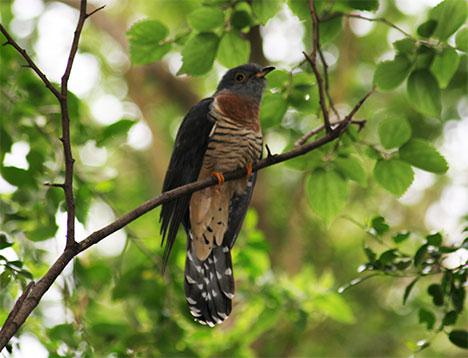 cuckoo-bird-photo1