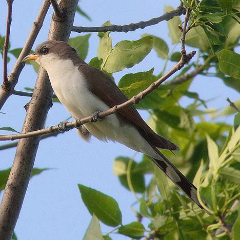 cuckoo-bird-photo2