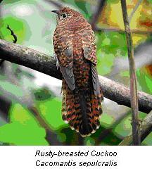 cuckoo-bird-pictures-2